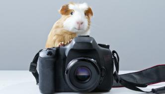 Simpatico cerdo de guinea (Cavia porcellus)